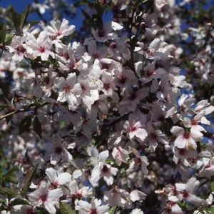 Prunus The Bride flowering cherry 110013 12L container
