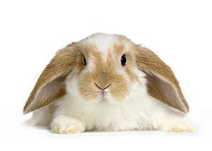 Livestock) Rabbit 25-00