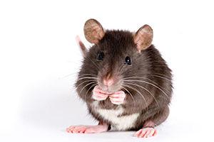 Livestock) Rat 10-00