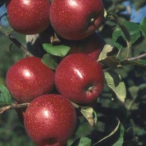 Apple (Malus) Red Windsor  Bush 108876 Fruit trees - 12L container MM106