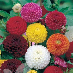 Dahlia Pompon & Ball Mixed