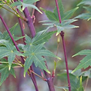 Acer pal. Sangokaku 150-175 cm Deco 18L. bush