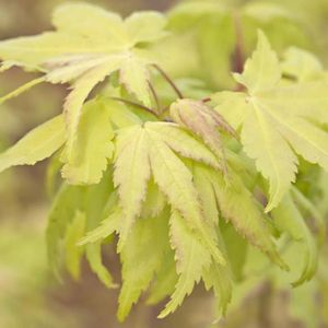 Acer pal. Summer Gold 100-125 cm Deco 12L. bush