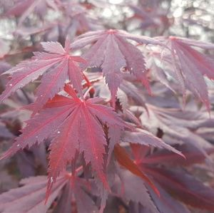Acer pal. Trompenburg 100-125 cm Deco 18L. bush