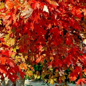 Acer rub Autumn Flame Maple 118864 12L container