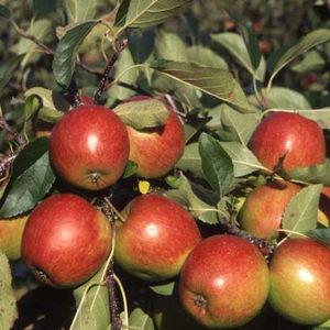 Apple (Malus) Red Falstaff Bush 107596 Fruit trees (Bare Root)