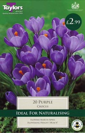 CROCUS PURPLE