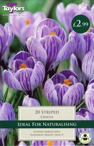 CROCUS STRIPED