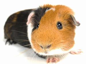 Livestock) Guinea Pig 20-00