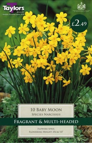 NARCISSI BABY MOON