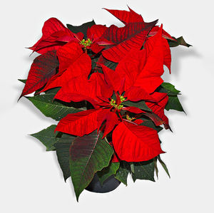 Poinsettia £6-99 - ***Two For 12***