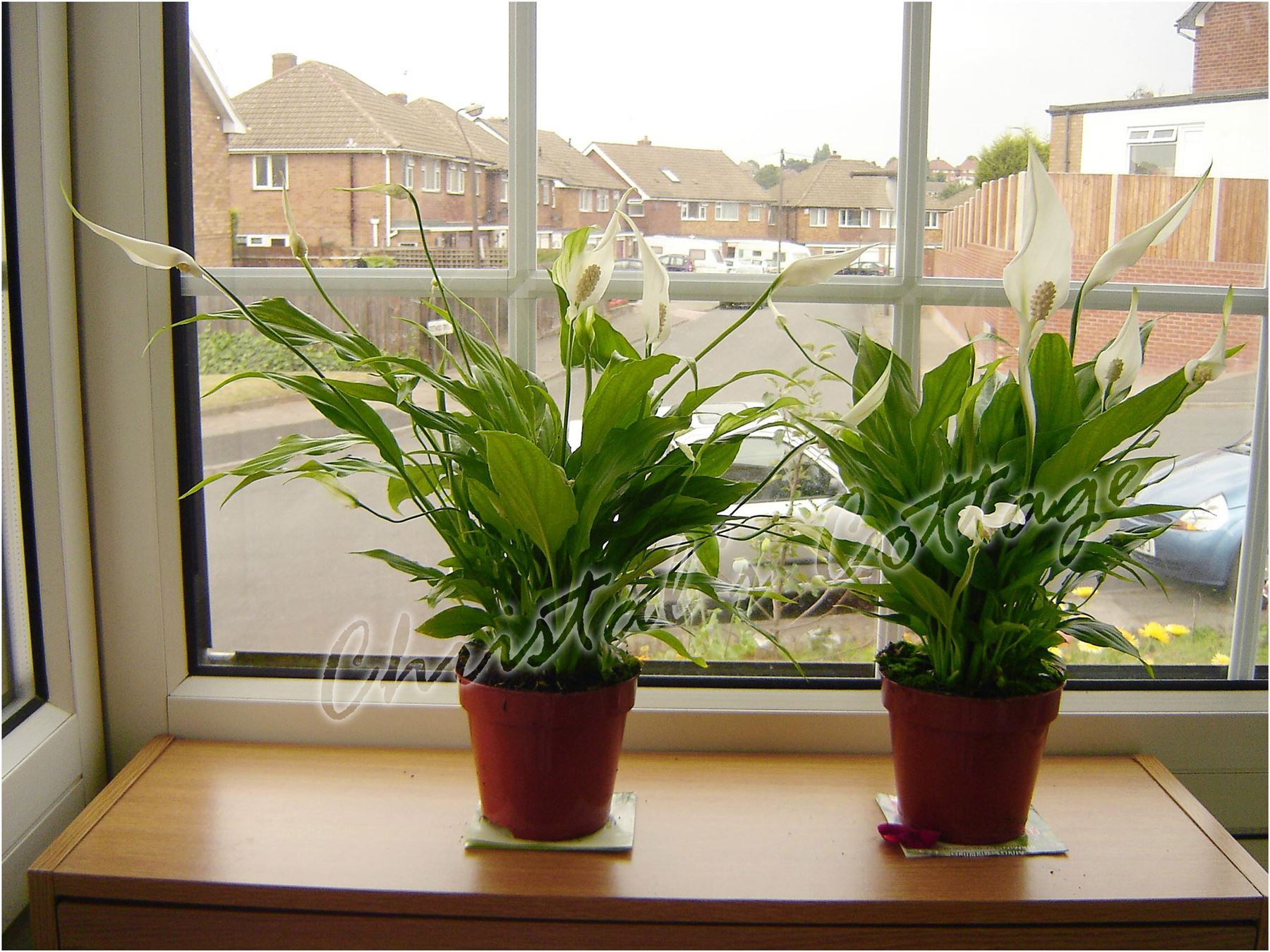 1 lirio de paz spathiphyllum planta de interior en maceta - Macetas interior ...