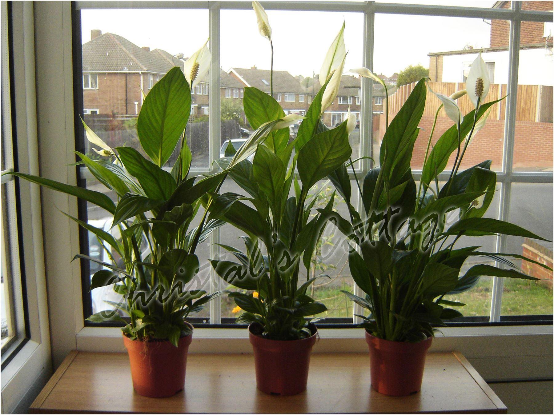 1 lirio de paz spathiphyllum planta de interior en maceta - Macetas de interior ...