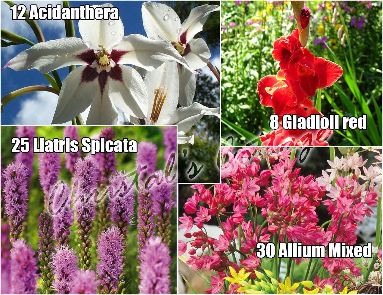 75 flowering gardening mixed bulbs spring growing corm gladi