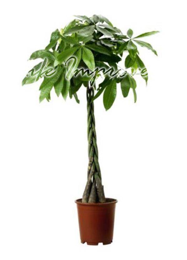1 pachira fortuna denaro albero duro interno esterno - Pachira pianta ...