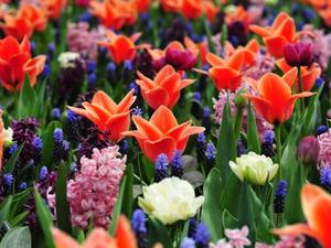 Dutch Bulb fields Keukenhof Gardens and Amsterdam by coach from Isle of Wight I Go travel To in Shanklin