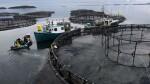 L'aquaculture, un danger pour les poissons sauvages