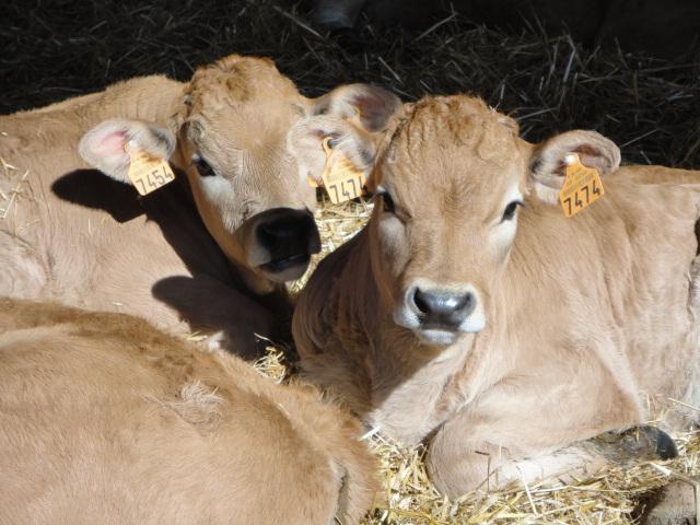 veaux aubrac nés dans le batiment