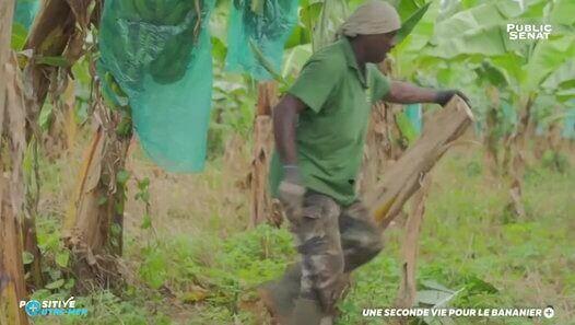Une seconde vie pour le bananier - Positive Outre-mer (03/12/2017) - vidéo Dailymotion