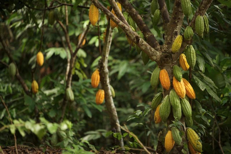 Plantation au Pérou
