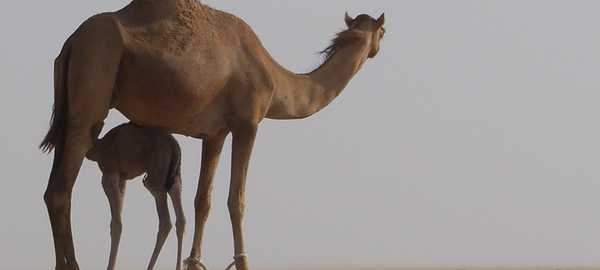 Falconry desert safari things to do dubai 87 600 270