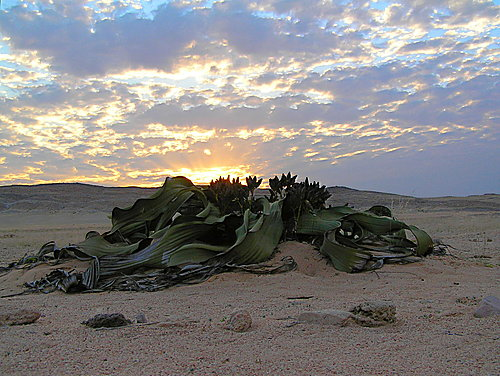 Featured medium photo of Welwitschia on TripHappy's travel guide