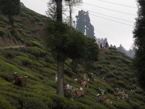 Photo of Darjeeling in the TripHappy travel guide