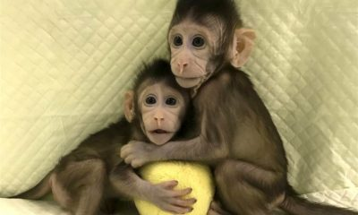 Chinese scientists clone monkeys