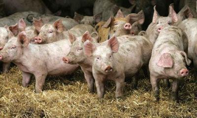 Farmer pigs