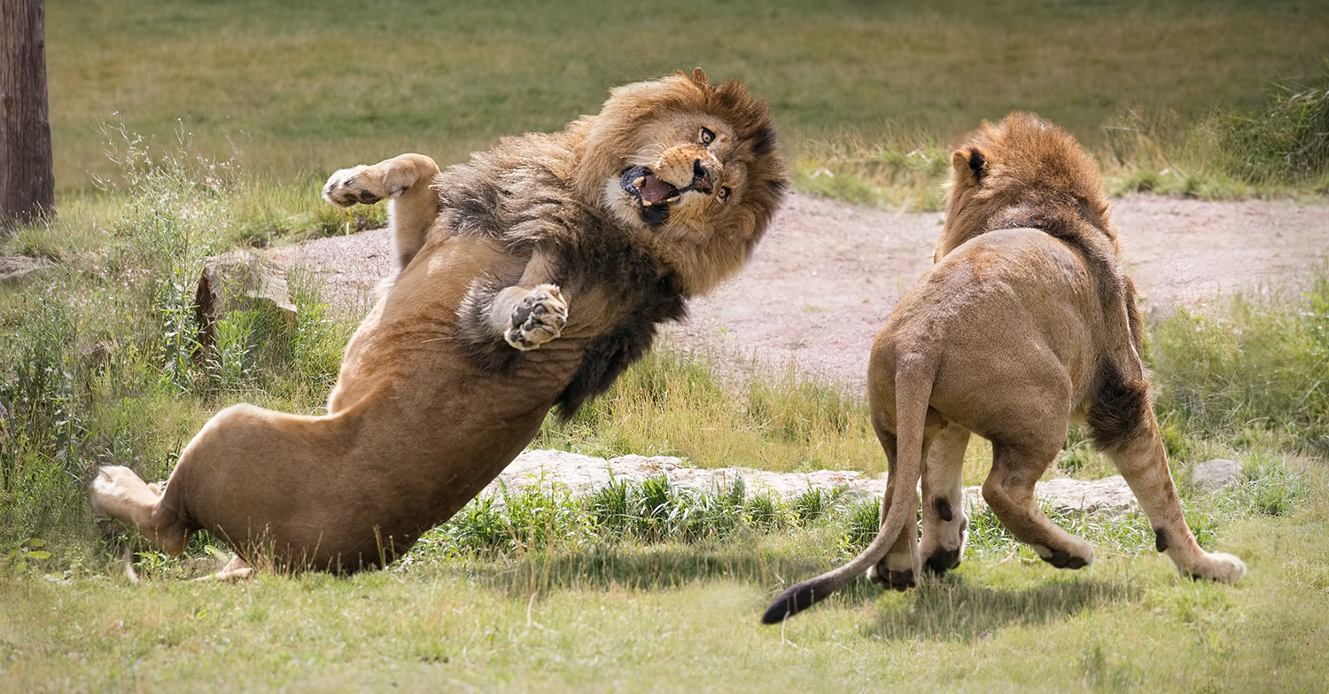 Lions playing