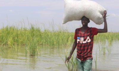 Borno Rice farmers