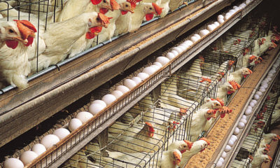 COVID-19: Poultry farmers decry egg glut in Plateau