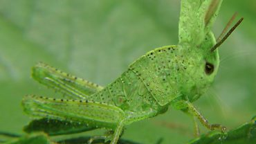 Rabbit_Grasshoper_Mutant-01611-nevit
