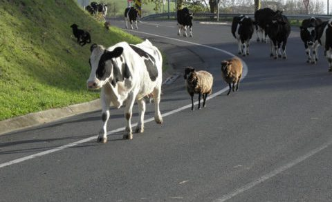 Cattle Walk Sheep Animals Road Herd Cows
