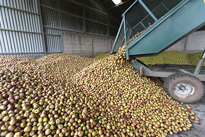 Apples arriving at the cidery