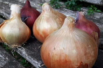 harvest festival home grown onions