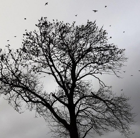 100's of starlings in a winter tree
