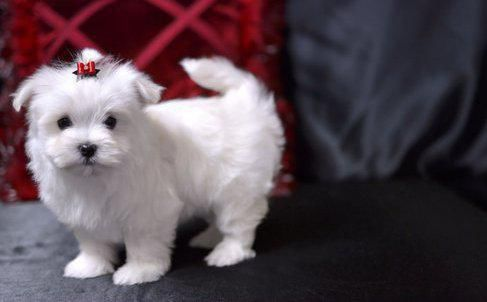 teacup maltese nz