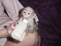 Lovely Home Raise Capuchin Monkeys for Sale
