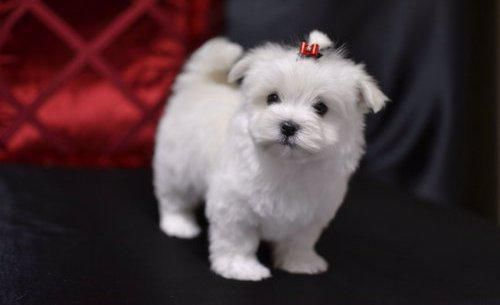 Socializedhome Trainteacup Maltese Puppies For Sale Call
