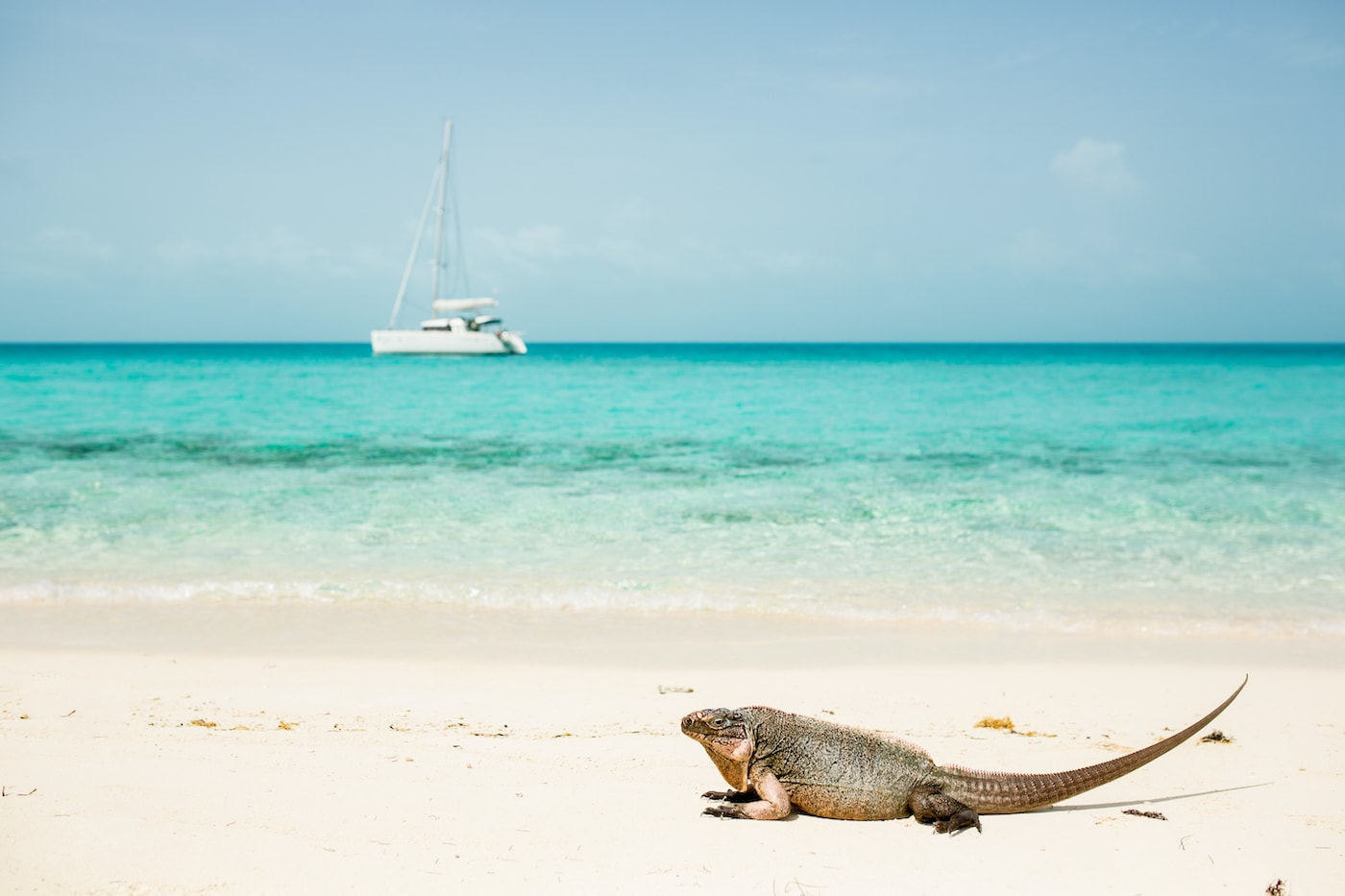 Iguana on Leaf Cay Beach (Exumas)