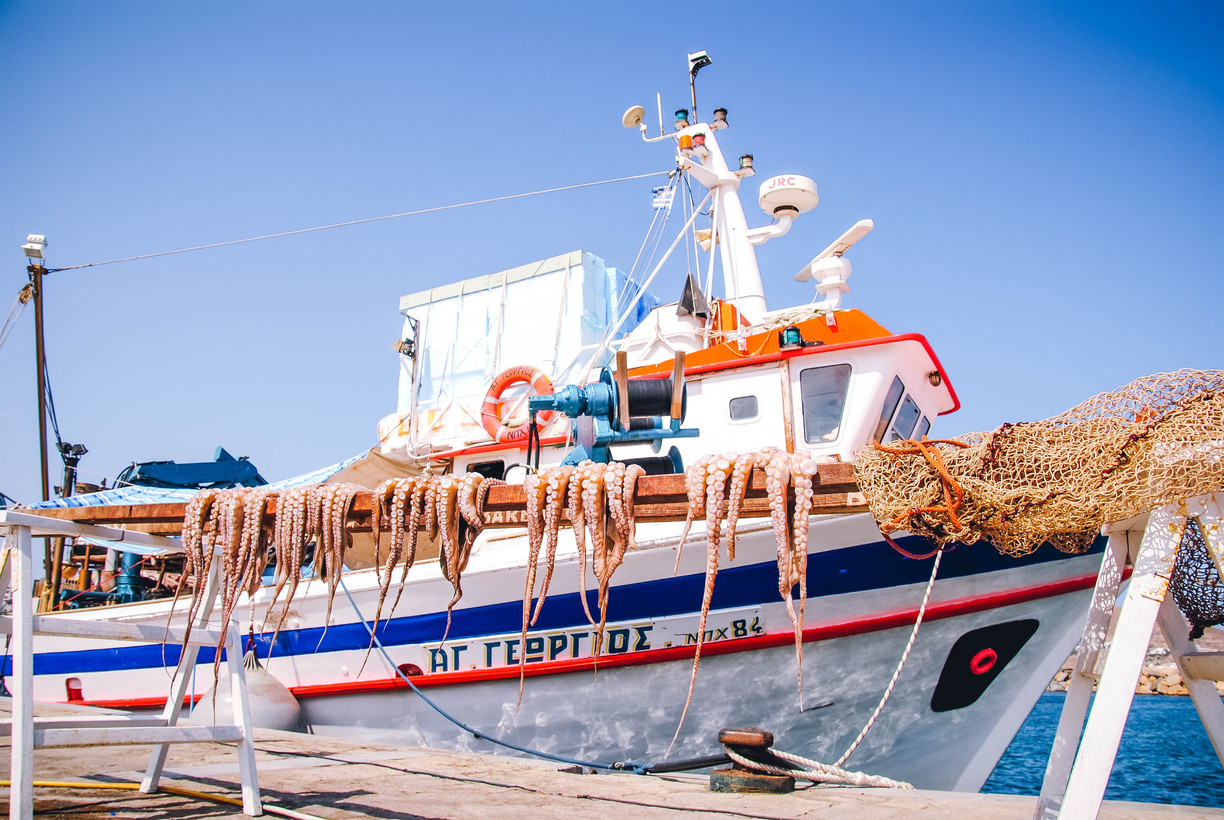 Fresh octopus in the port of Petriti in Corfu