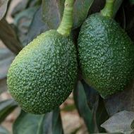 Avocado Zambia