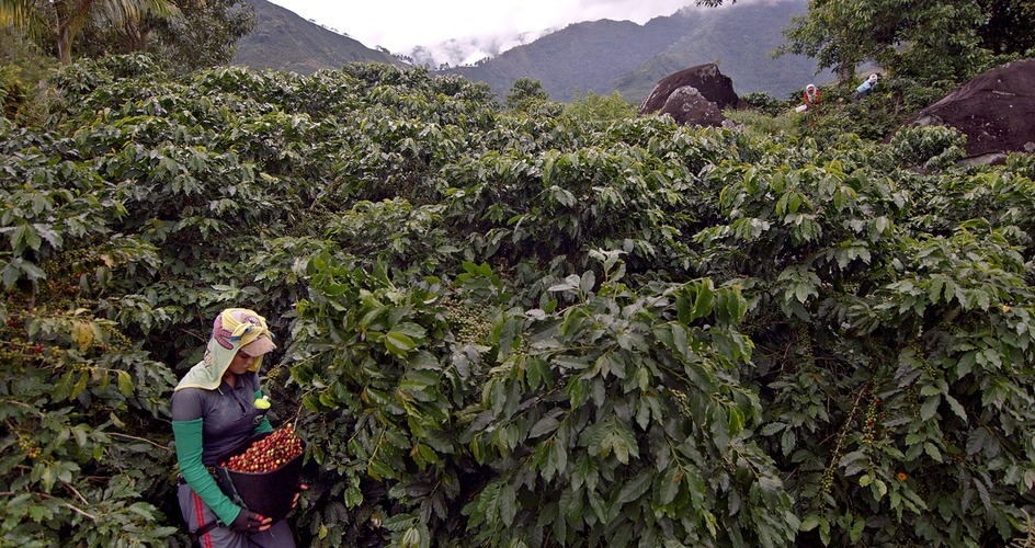 Female coffee farmer harvesting in Colombia