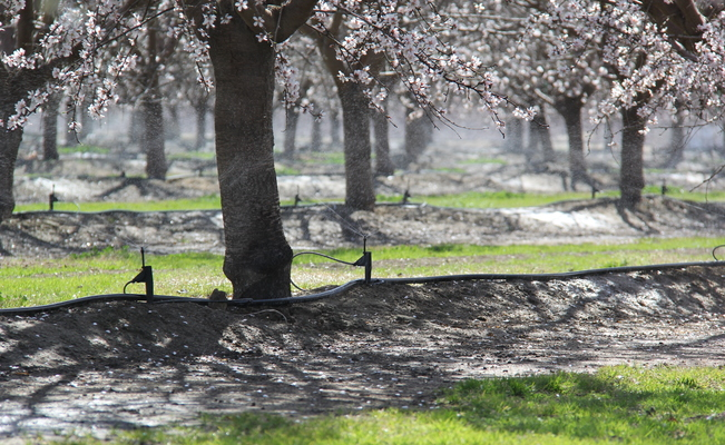 irrigation in almonds