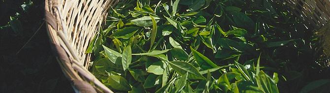 Kenya tea