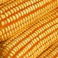 Mejorando el contenido de proteínas y aminoácidos en el grano del maíz