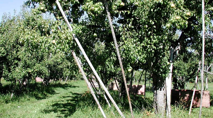 apple orchard system, low density