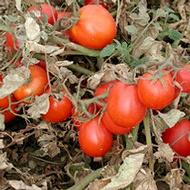 Influencing Tomato Firmness and Shelf Life