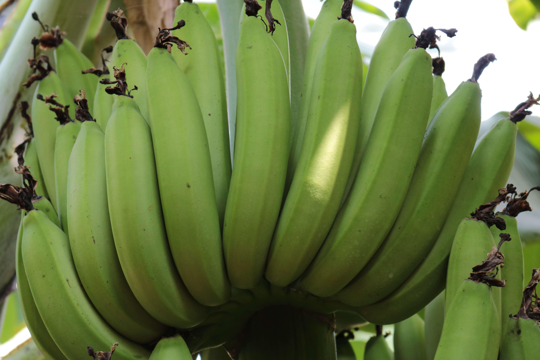 Influencing Bunch Weight in Banana